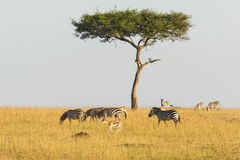Zebras and gazelles at a tree on the savannah Stock Photography