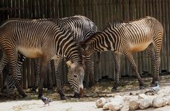 Zebra Or Genus Equus. Zebras or genus Equus in enclosure at Lisbon Zoo Lisbon Portugal royalty free stock photo