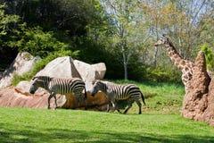 Zebras and Giraffe Royalty Free Stock Photos