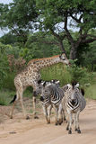 Zebras & Giraffes Kruger National Park, Africa Royalty Free Stock Photo