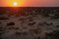 Zebras and Gnu Royalty Free Stock Image