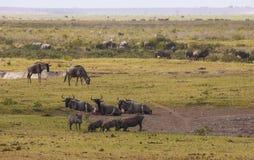 Zebras, Gnus in Amboseli parken, Kenia stockbild