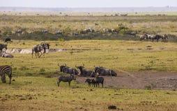 Zebras, Gnus in Amboseli parken, Kenia stockfotos