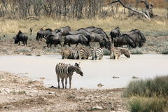 Zebras and Gnus Waterhole in Namibia Royalty Free Stock Images