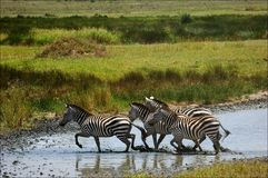 Zebras go on water. Royalty Free Stock Photo