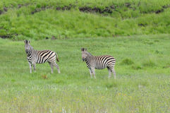 Zebras in the Golden Gate Highlands National Park Royalty Free Stock Photo