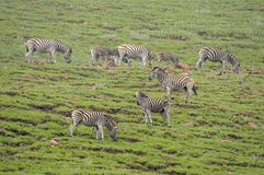 Zebras in the Golden Gate Highlands National Park Royalty Free Stock Photos