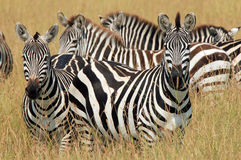 Zebras in Grass. Plains Zebras (Equus Quagga) in High Grass, Maasai Mara, Kenya royalty free stock image