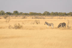 Zebras in a grass field. In the Etosha National Park Stock Image