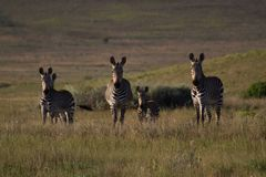 Zebras on a grass plain Royalty Free Stock Photos