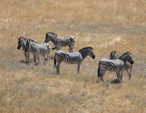 Zebras in the Grass Stock Photography