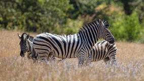 Zebras in the Grass Royalty Free Stock Photos