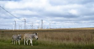 Zebras in grassland under power pylons in Africa. A mother zebra and her calf walk in the grass under electric pylons in South Africa stock image
