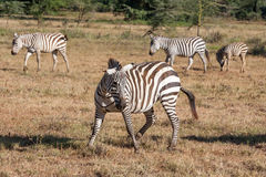 Zebras in the grasslands Royalty Free Stock Photos