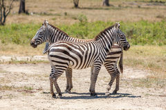 Zebras in the grasslands Royalty Free Stock Photo