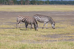 Zebras in the grasslands Stock Photography