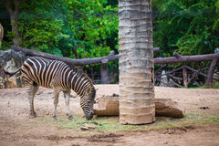 Zebras in the grasslands. Stock Images