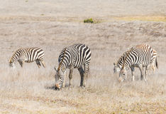 Zebras graze near San Simeon, California Royalty Free Stock Photos