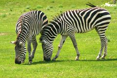 Zebras grazing. Two young zebras are grazing Stock Images