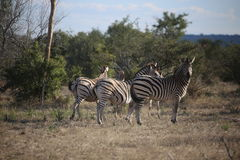 Zebras grazing along the plains of Africa Stock Photography