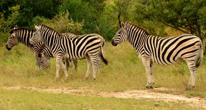 Zebras grazing Royalty Free Stock Images