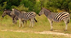 Zebras grazing. 4 Burchell's zebras standing in lush green bush. 1 zebra grazing grass. Kruger National Park, South Africa Royalty Free Stock Images