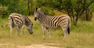 Zebras grazing. 2 Burchell's zebras standing in lush green bush. 1 zebra grazing grass and 1 looking towards camera. Kruger National Park, South Africa Stock Photo