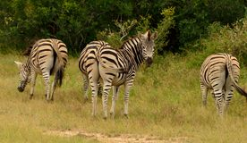 Zebras grazing. 4 Burchell's zebras standing in lush green bush. 3 zebra grazing grass and 1 looking towards camera. Kruger National Park, South Africa Royalty Free Stock Image
