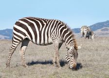 Zebras grazing in drought parched field. Zebras, adults and baby walking eating in drought parched wilderness. Zebras are generally social animals that live in Royalty Free Stock Image