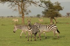 Zebras grazing in the Maasai Mara. Zebras grazing on the grass of the Maasai Mara, Kenya Stock Image