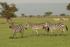 Zebras grazing in the Maasai Mara. Zebras grazing on the grass of the Maasai Mara, Kenya Stock Photo