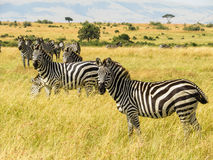 Zebras grazing on the grass. In masai mara Royalty Free Stock Image