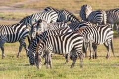Zebras grazing grass. On the savannah Stock Image