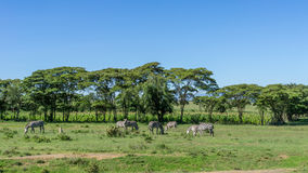 Zebras grazing Royalty Free Stock Photo