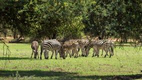 Zebras grazing Stock Image