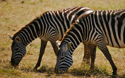 Zebras Grazing in Kenya. Zebras in Kenya at Amboseli National Park grazing Royalty Free Stock Images