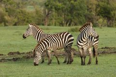 Zebras grazing in the Maasai Mara. Zebras grazing on the grass of the Maasai Mara, Kenya Royalty Free Stock Images