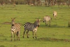 Zebras grazing in the Maasai Mara. Zebras grazing on the grass of the Maasai Mara, Kenya Stock Photography