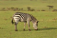 Zebras grazing in the Maasai Mara. Zebras grazing on the grass of the Maasai Mara, Kenya Royalty Free Stock Image