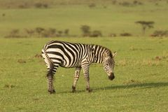 Zebras grazing in the Maasai Mara. Zebras grazing on the grass of the Maasai Mara, Kenya Stock Images