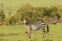Zebras grazing in the Maasai Mara. Zebras grazing on the grass of the Maasai Mara, Kenya Royalty Free Stock Photos