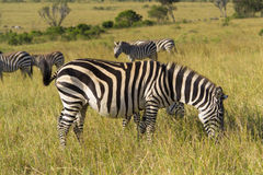 Zebras grazing Stock Photo
