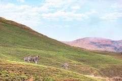 Zebras grazing in the mountain at Golden Gate Highlands National Park, travel destination in South Africa. Zebras grazing in the mountain at Golden Gate Stock Images