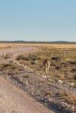 Zebras Grazing next to Road in Etosha National Park, Namibia Royalty Free Stock Images