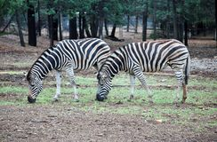Zebras Grazing. A pair of zebras grazing Stock Photography