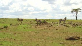 Zebras grazing in savanna at africa stock video