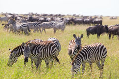 Zebras grazing in Serengeti National Park in Tanzania, East Africa. Big herd of Zebras and Wildebeests grazing in Serengeti National Park in Tanzania, East Royalty Free Stock Images
