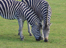 Zebras grazing Royalty Free Stock Image