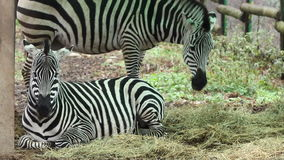 Zebras Grazing. Two zebras peacefully at grazing time stock video footage