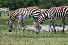 Zebras grazing. Wild african zebras eating or grazing outdoors. Hwange National Park section, Lion Country Safari, south Florida Stock Photos